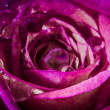 Stock Photo: Pink Rose With Water Droplets