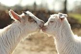Love goats — Stock Photo