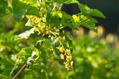 Spring currant bush — Stock Photo