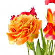 Stock Photo: Tulip