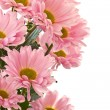 Pink chrysanthemum — Stock Photo #7975854