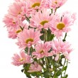 Stock Photo: Pink chrysanthemum