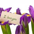 Stock Photo: Iris flower