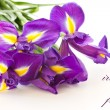 Iris flower — Stock Photo #8066110