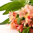 Alstroemeria — Stock Photo #8067658