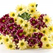 Chrysanthemum yellow and maroon — Stock Photo