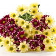 Chrysanthemum yellow and maroon — Stock Photo #8135157