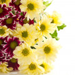 Chrysanthemum yellow and maroon — Stock Photo #8135188