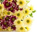 Chrysanthemum yellow and maroon — Stock Photo