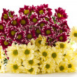 Yellow chrysanthemums — Lizenzfreies Foto