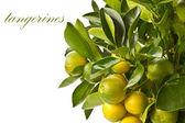 Tangerine tree — Stock Photo