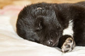 Central Asian Shepherd Puppies — Stock Photo
