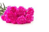 Pink carnation — Stockfoto