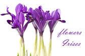 Flowers Irises — Stock Photo