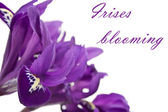 Purple irises blooming — Stock Photo
