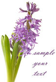 Hyacinth flower — Stock Photo