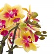 Stock Photo: Blooming phalaenopsis