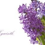 Hyacinth flower — Stock Photo #9231611
