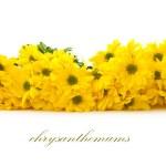 Yellow chrysanthemums — Stock Photo