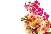 Blooming phalaenopsis — Stock Photo
