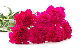 Red carnations — Photo