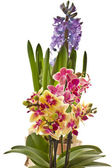 Phalaenopsis and hyacinth — Stock Photo