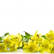 Stock Photo: Alstroemeriflowers