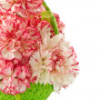 Blooming pink carnation — Stock Photo