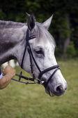 Gray horse — Stock Photo
