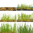Growing wheat - Stock Photo