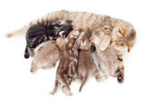 Five kittens brood feeding by mother cat isolated — Stock Photo