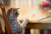 Cat waiting for food sitting like man at table — Stock Photo
