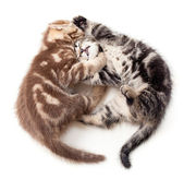 Two kittens struggle top view — Stock Photo