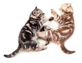 Two kittens playing together — Stock Photo