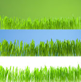 Set of clean growing fresh grass on white, blue and green backgr — Stock Photo