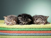 Three sleeping scottish baby kitten on stack of colorful towels — Stock Photo