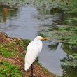 White heron on the lake with green leaves on the surface of the lotus. - Stock Photo