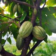 Cacao pod on tree — Stock Photo #8876686