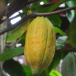 Cacao pod on tree — Stock Photo #8894543
