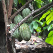 Cacao pod on tree — Stock Photo #8944244