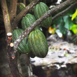 Cacao pod on tree — Stock Photo #8945596