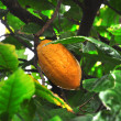 Cacao pod on tree — Stock Photo