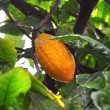 Cacao pod on tree — Stock Photo #8946558