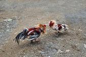 Juego-gallo, pelea de gallos - entretenimiento tradicional en la república dominicana republ — Foto de Stock