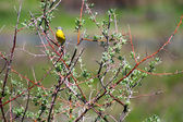 Yellow Wagtail on the tree. — Stock Photo