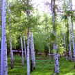 Stock Photo: Birch grove.