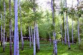 Birch grove. — Stock Photo