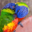 Pair Of Lorikeets Preening - Stock Photo
