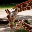 Постер, плакат: Mother and Baby Giraffe