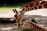 Anne ve bebek zürafa — Stok fotoğraf